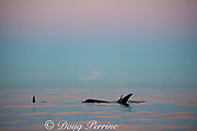 transient orcas or killer whales, Orcinus orca, in front of a snow-capped Mt. Baker, Washington, at sunset, Strait of George, east of Vancouver Island, British Columbia, Canada, and north of San Juan Islands, Washington, USA