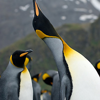 A king Penguin stretches at a rookery at Gold Harbor, South Georgia, Antarctica.