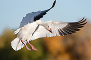 Amazing Snow Goose landing against glowing fall colors