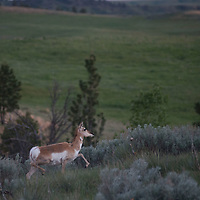 """Pronghorn run through the Upper Missouri River Breaks National Monument in central Montana.  Though often called """"antelope,"""" they are actually of a different animal family."""