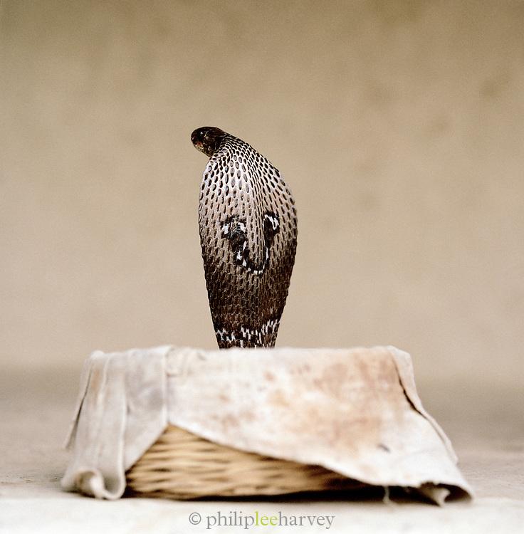 Cobra Snake in basket, Gandhi Nager, Lucknow, Uttar Pradesh, India