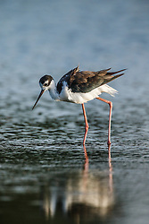 "Black-necked stilt, ""Secret Bird Pond"" near Trinity River Audubon Center, Great Trinity Forest, Dallas, Texas, USA"