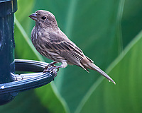 House Finch. Image taken with a Nikon D5 camera and 200-500 mm VR lens.