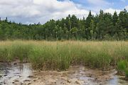 Sawtooth sedge (Cladium mariscus) on sides of sulphur rich pond in bog, Kemeri National Park (Ķemeru Nacionālais parks), Latvia Ⓒ Davis Ulands   davisulands.com