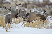 Mule deer buck chasing doe during the fall rut (Odocoileus hemionus)