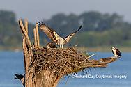 00783-02119 Osprey (Pandion haliaetus) landing at nest Rend Lake Jefferson Co. IL