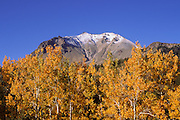Yellow fall aspens under fresh snow on Lassen Peak, Cascade Mountains (Pacific Ring of Fire), Lassen Volcanic National Park, California