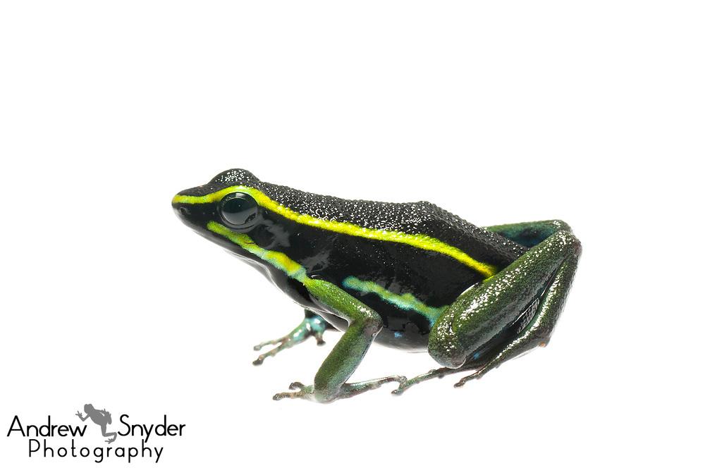 Three striped poison frog, Ameerega trivittatus, Kanuku Mountains, Guyana, July, 2014