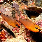 Spotnape Cardinalfish inhabit reefs. Picture taken Raja Ampat, Indonesia.