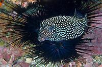 Spotted Boxfish and Sea Urchin