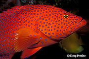 coral grouper, jewel grouper, coral trout, or coral cod, Cephalopholis miniata, Similan Islands, Thailand ( Indian Ocean )