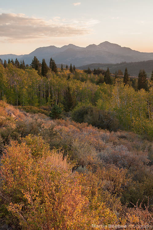 Quaking aspen (Populus tremuloides) at sunset below Silver Peak, fall, Toiyabe National Forest, California