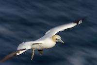 Gannet (Sula bassana) in flight Saltee Islands Ireland