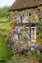 Wisteria floribunda growing on a wall at Eastgrove Cottage - Japanese wisteria
