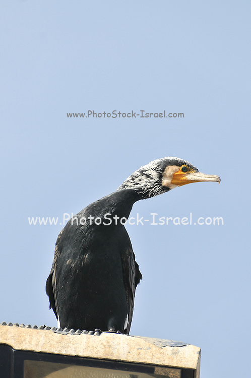 Great Cormorant (Phalacrocorax carbo), known as the Great Black Cormorant  is a member of the cormorant family of seabirds Photographed in Israel in Winter January