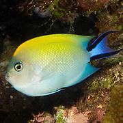 Blackspot Angelfish inhabit reefs and rubble areas. Picture taken Fiji.
