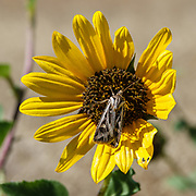 A moth on a prairie sunflower (Helianthus petiolaris), also known as the lesser sunflower, in Badlands National Park, South Dakota, USA. We walked up the eroded Saddle Pass Trail then east on the flatter Castle Trail (3 miles round trip) in Badlands National Park, South Dakota, USA.