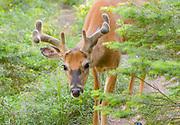 Mule Deer With Antlers in Velvet
