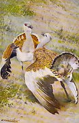 The great bustard (Otis tarda) is a bird in the bustard family, the only member of the genus Otis. It breeds in open grasslands and farmland from northern Morocco, South and Central Europe, to temperate Central and East Asia. from the book '  Animal portraiture ' by Richard Lydekker, and illustrated by Wilhelm Kuhnert, Published in London by Frederick Warne & Co. in 1912