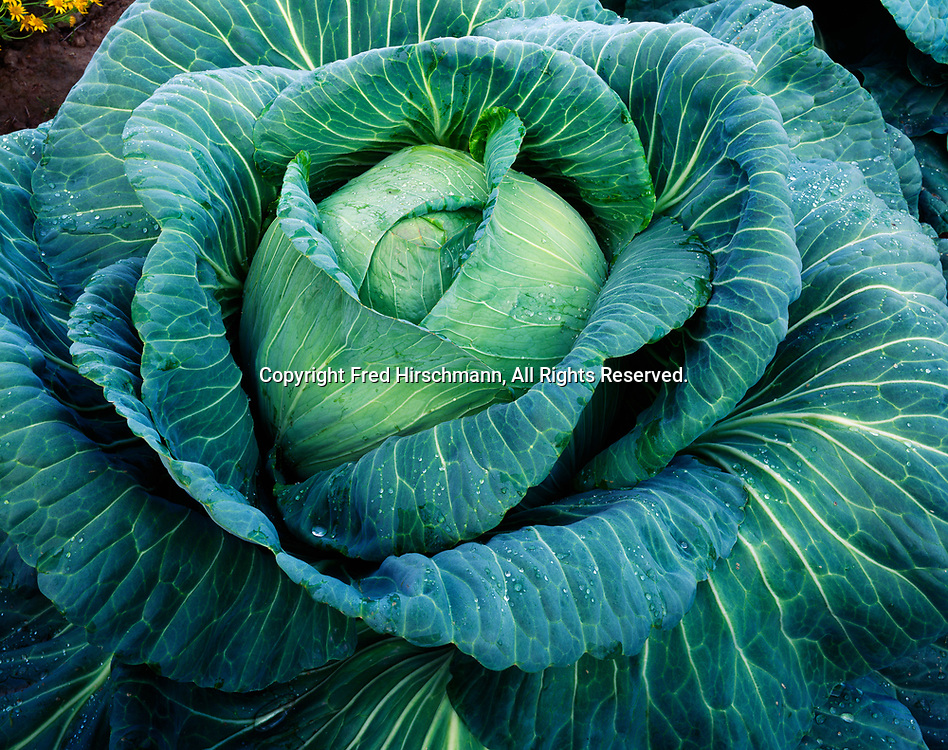 Giant cabbage growing in the garden of Don and Bonnie Dinkle, Matanuska Valley, Alaska.