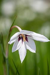 Gladiolus callianthus syn. Acidanthera bicolor 'Murielae' AGM - Abyssinian gladiolus