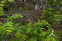 Ash (Sorbus aucuparia) growing among windblown trees. Western Tatras, Slovakia. June 2009. Mission: Ticha