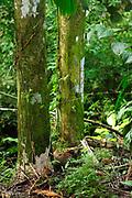 Ñeques / Dasyprocta / Parque Nacional Camino de Cruces, Panamá.