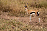 Male Thomson's Gazelle (Gazella thomsonii) Grazing, Serengeti National Park, Tanzania, in April