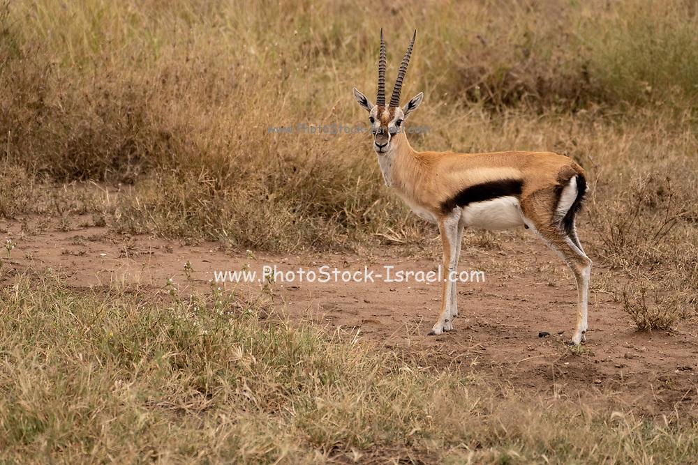 Male Thomson's Gazelle (Gazella thomsonii) Grazing, Serengeti National Park, Tanzania, in April