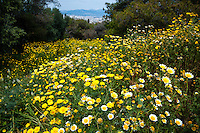 Greece, Athens. Yellow flowers below  the Acropolis.