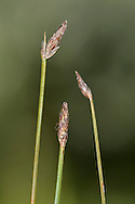 Slender Club-rush Isolepis cernua Height to 12cm<br /> Short, tufted and very slender annual or perennial. Leaves are bristle-like. Inflorescence comprises 1-4 compact, egg-shaped spikelets, with bract that is shorter than inflorescence (May-Jun). Favours damp ground, typically bare or with short vegetation. Local, mostly coastal, and mainly in the S and SW.
