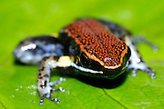 Ecuador, May 7 2010: Frog on leaf. Copyright 2010 Peter Horrell