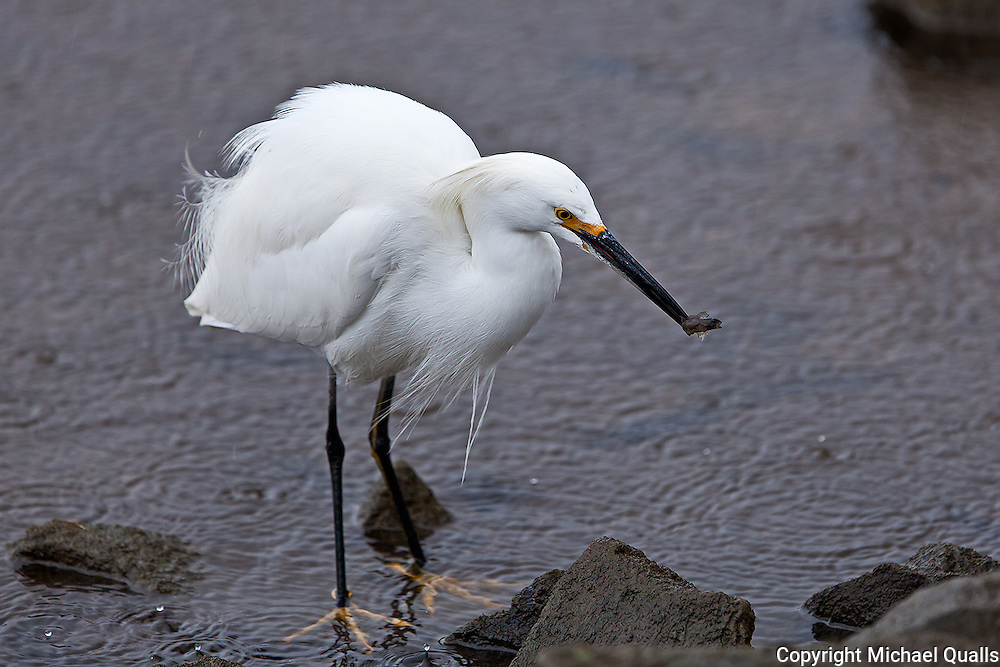 Snowy Egret with morning catch.  A small fish at the shore.