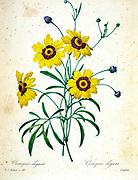 19th-century hand painted Engraving illustration of a Plains Coreopsis flower (Coreopsis tinctoria) [as Coreopsis elegans], by Pierre-Joseph Redoute. Published in Choix Des Plus Belles Fleurs, Paris (1827). by Redouté, Pierre Joseph, 1759-1840.; Chapuis, Jean Baptiste.; Ernest Panckoucke.; Langois, Dr.; Bessin, R.; Victor, fl. ca. 1820-1850.