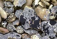 Black Tar Lichen - Verrucaria maura