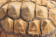 Close up of a Spur-thighed Tortoise or Greek Tortoise (Testudo graeca) in a field. Israel in January