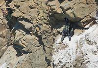 Pelagic Cormorants, Phalacrocorax pelagicus, perch on a cliff near their nest on the Pacific Coast near Bodega Bay, California