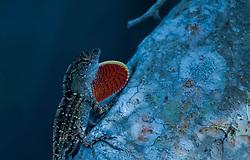 Brown Anole (Anolis sagrei) Lizard, Hammock Trail, Sebastian Inlet State Park, Sebastian, Florida, US