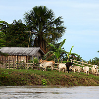 South America, Brazil, Amazon. Farm and cattle on the Amazon river.