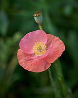 Pink Poppy. Image taken with a Leica SL2 camera and 60 mm f/2.8 TL lens.