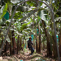 A worker rides the banana cable run at a plantation of APPBOSA in Peru back from the processing plant to pick up a new batch of bananas.