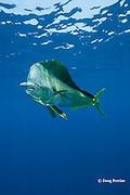 dorado, mahi mahi, or dolphin fish, Coryphaena hippurus, eating bait fish, off Isla Mujeres, near Cancun, Yucatan Peninsula, Mexico ( Caribbean Sea )