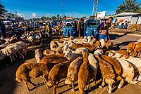 Goats in the livestock market, Bahir Dar, Amhara region, Ethiopia.