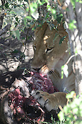 Kenya, Masai Mara, Lioness eats her hunted animal
