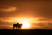 Icelandic Horses silhouetted on a hill in south-east Iceland at sunset.