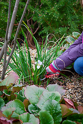 Removing scrappy winter iris foliage to show off flowers - Iris unguicularis