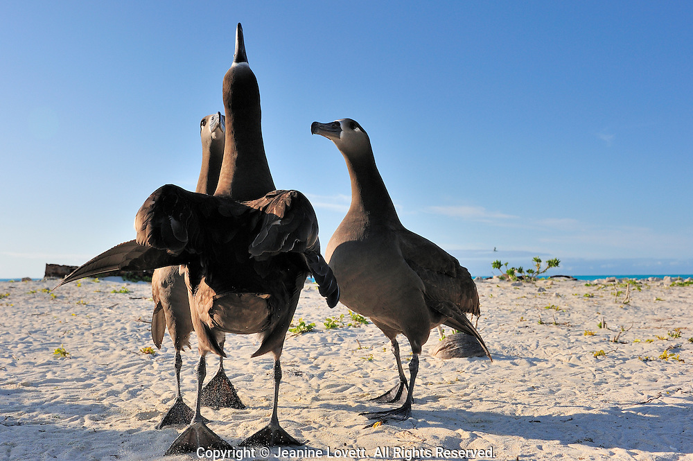 Three black footed albatross do a courtship dance kicking up sand, on the tips of their webbed feet. Head raised and calling out.