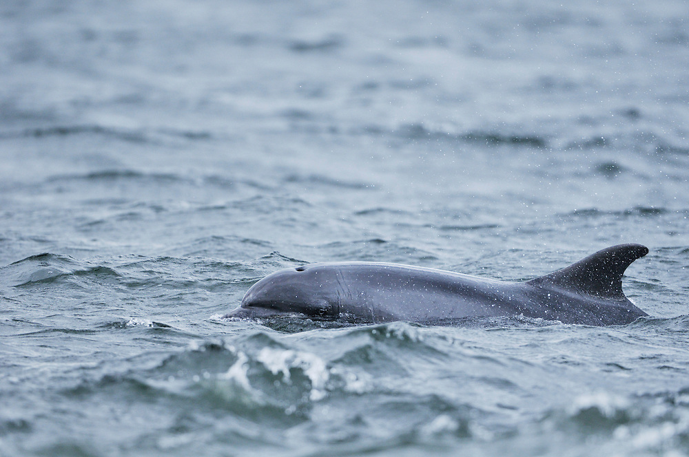 Bottle-nosed Dolphin surfacing,<br /> Tursiops truncatus,<br /> Moray Firth, Nr Inverness, Scotland - May