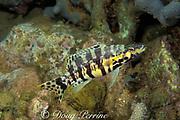 harlequin bass, <br /> Serranus tigrinus, <br /> Dominica ( E. Caribbean )