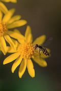 Hoverfly on Golden Ragwort - Mississippi.